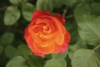 https://commons.wikimedia.org/wiki/File:Paris_75007_Champ-de-Mars_Flower_in_spring_2012_Rose.jpg?uselang=de